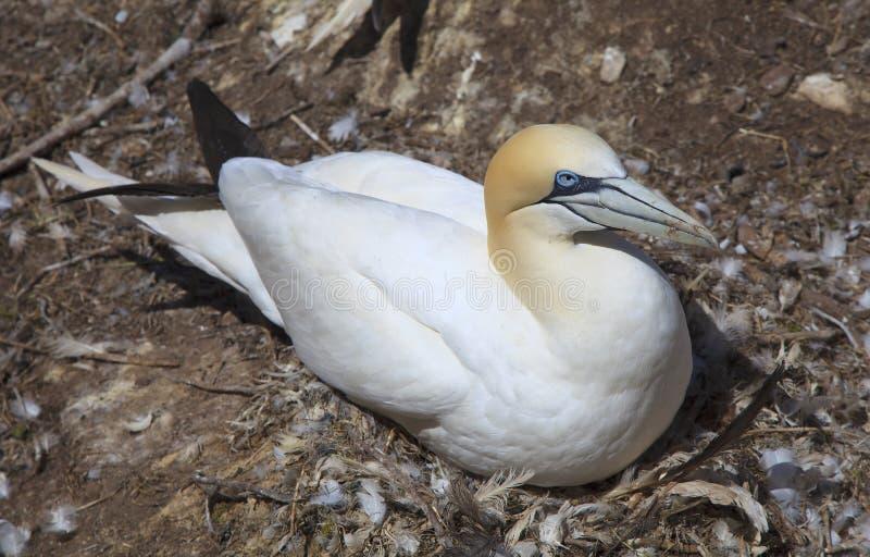 Northern Gannet on Bonaventure Island stock photography