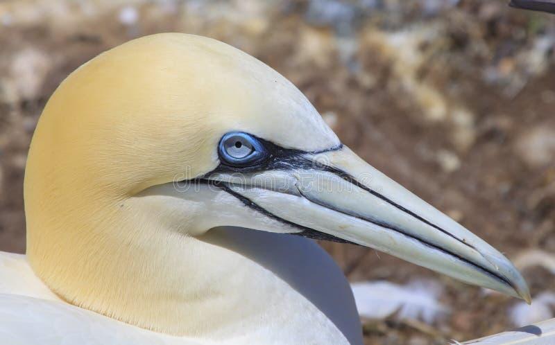 Northern Gannet on Bonaventure Island stock images