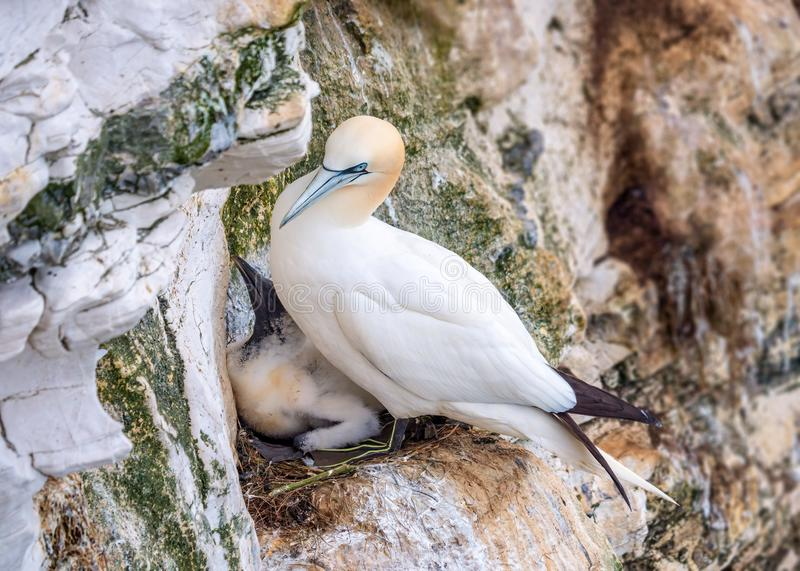 Northern Gannet and chick - Morus bassanus, Bempton Cliffs, Yorkshire. Northern Gannet and chick - Morus bassanus on their cliff face nest at RSPB Bempton Cliffs royalty free stock photography
