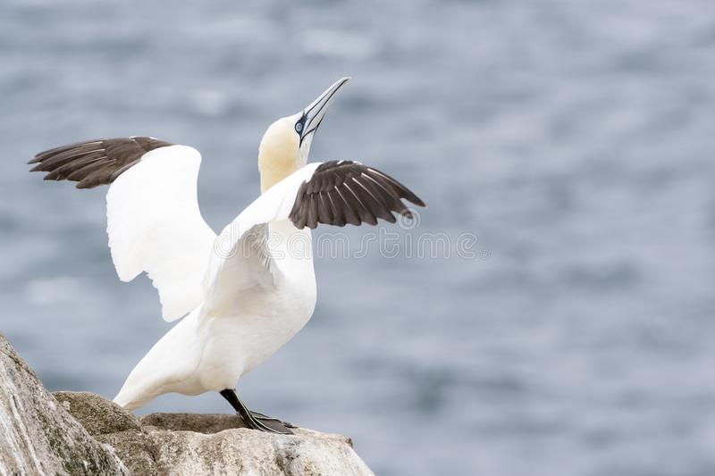 Northern Gannet on a cliff spreading wings. Northern Gannet Morus bassanus standing on rock of coastal cliff, Great Saltee, Saltee Islands, Ireland royalty free stock photo