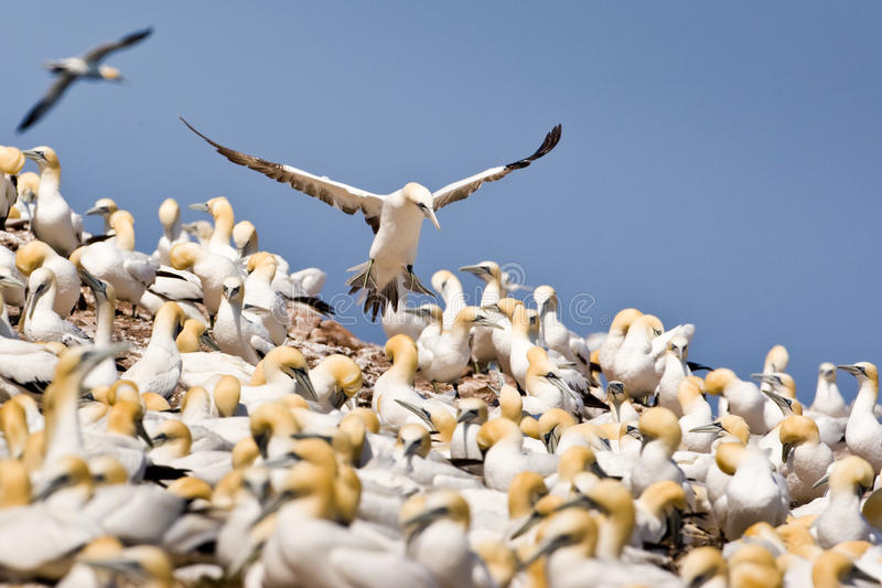 Northern Gannet Colony. Northern Gannet Attempting a Landing in Colony royalty free stock images