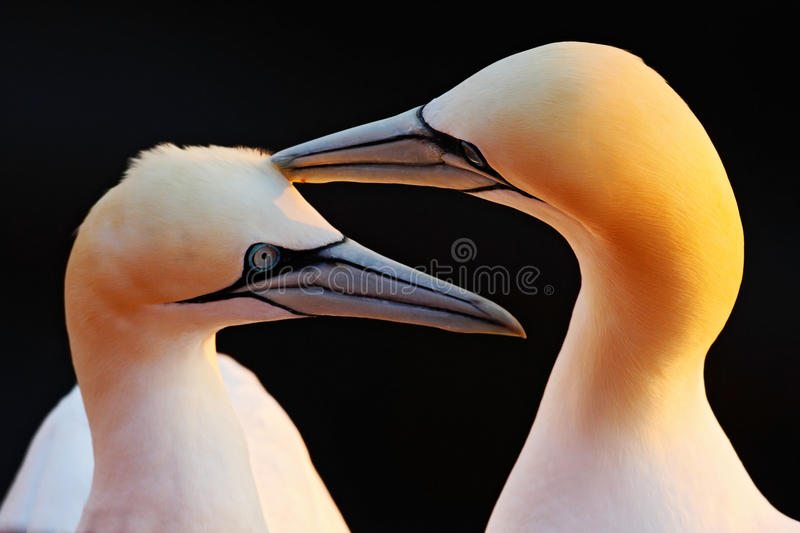 Northern Gannet, detail head portrait with evening sun and dark orange sea in the background, beautiful birds in love, pairs of an. Northern Gannet, detail head royalty free stock image