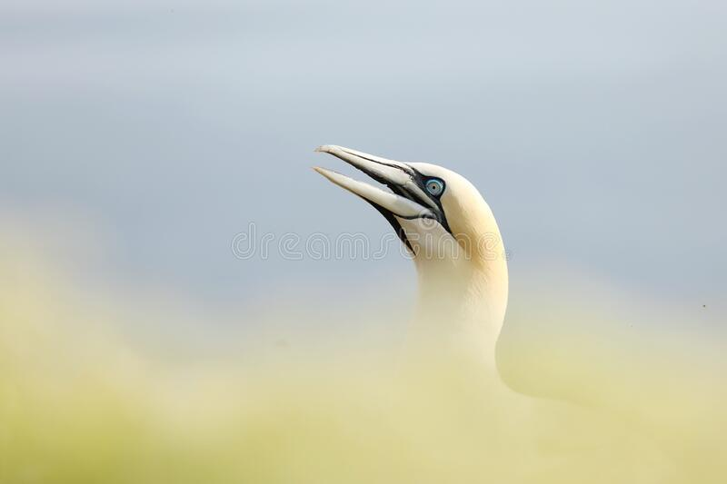 Northern gannet, detail portrait of sea bird sitting on the nest, with sea water in the background, Helgoland island, Germany. Mur stock photos
