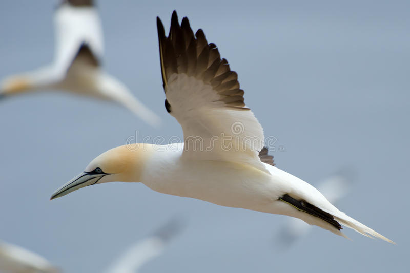 Northern gannet fencing. Northern gannet flying with other birds in a huge colony stock image
