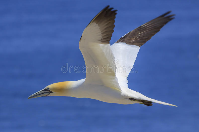 Northern Gannet in flight. A flying Northern Gannet on Bonaventure Island in the Gulf of St. Lawrence, Canada royalty free stock photography