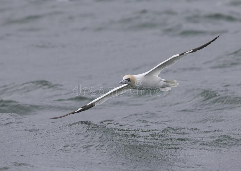 A Northern gannet Morus bassanus in flight almost touching the water hunting for fish far out in the North Sea. royalty free stock photography