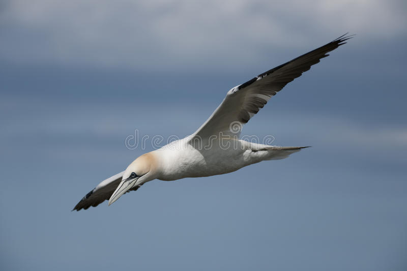 Northern Gannet (Morus bassanus) royalty free stock photography