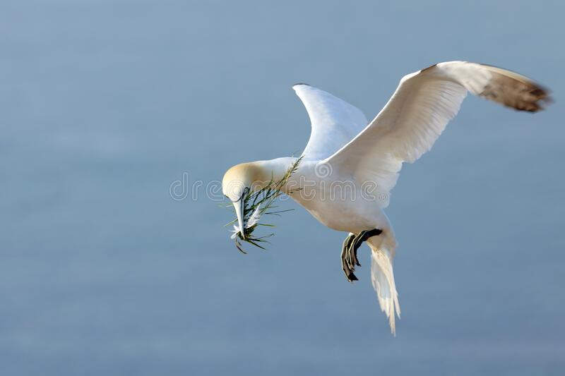 Landing Northern gannet Morus bassanus with nesting material in the bill, with blue sea water in the background, Helgoland islan stock image