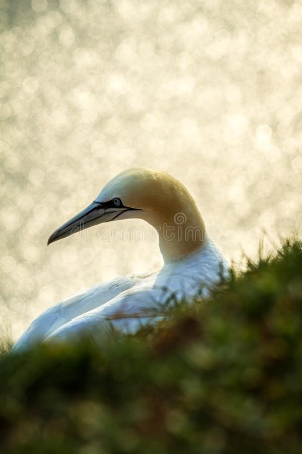 Northern Gannet Morus bassanus, mating gannets on cliffs, bird couple playing with feather royalty free stock photo