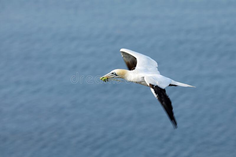 Flying Northern gannet Morus bassanus with nesting material in the bill, with blue sea water in the background, Helgoland island royalty free stock images