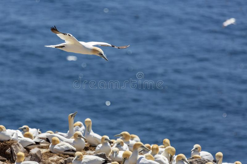 Northern gannet. Flying above other gannets stock photo