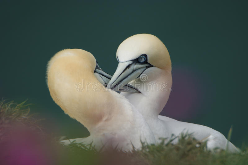 Northern Gannets courting. Northern Gannets at Bempton Cliffs, Yorkshire, UK royalty free stock photos
