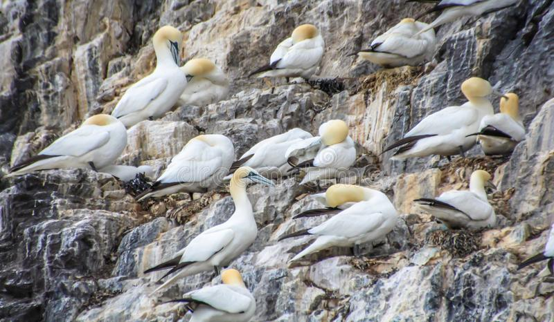 Northern gannets Morus bassanus seabirds at Bass Rock, world`s largest colony of northern Gannets. North Berwick Scotland UK. Northern gannets Morus bassanus royalty free stock photography