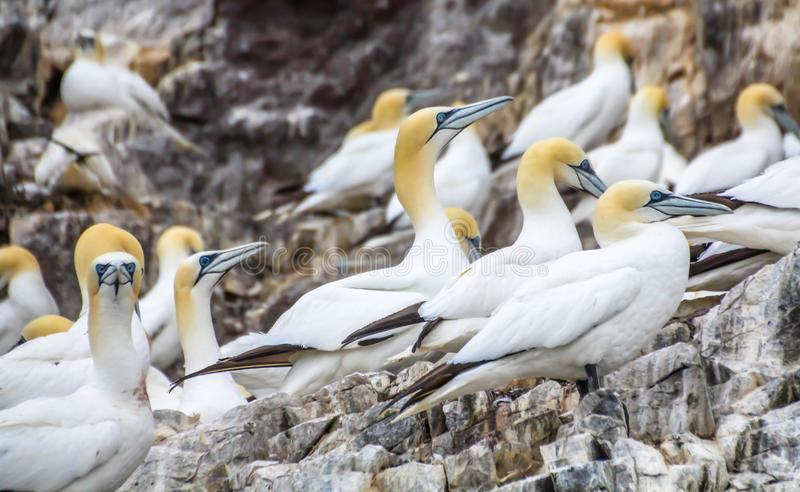 Northern gannets Morus bassanus seabirds at Bass Rock, world`s largest colony of northern Gannets. North Berwick Scotland UK. Northern gannets Morus bassanus stock images