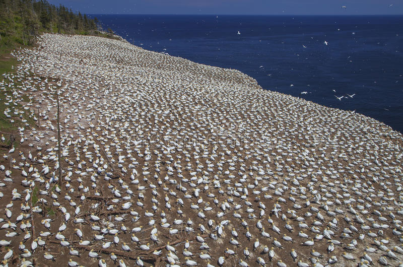 Northern Gannets Rookery on Bonaventure Island stock images