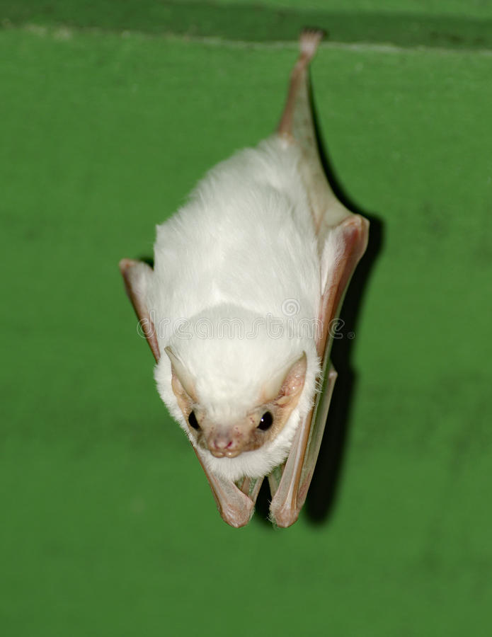 Honduran white bat pictures Bill Clinton Pictures and Photos Getty Images