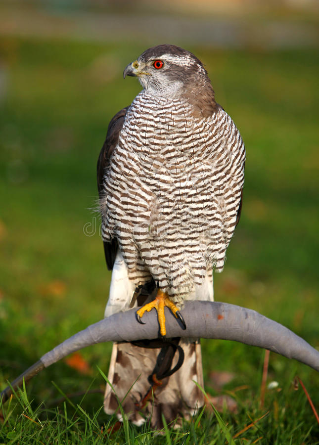 Northern Goshawk stock photo