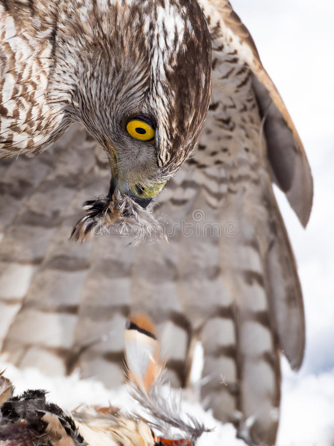 Northern goshawk (Accipiter gentilis) hunting in a falconry exhibition. Northern goshawk (Accipiter gentilis) hunting a partridge on the snow in winter in a royalty free stock photography