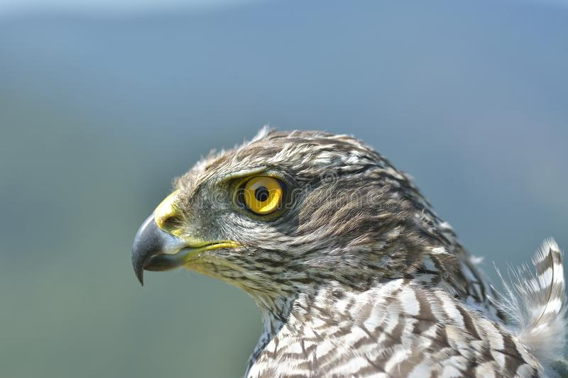 Northern Goshawk Accipiter gentilis portrait. royalty free stock photos