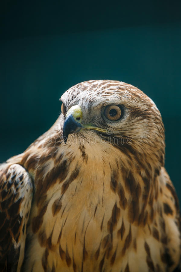 The Northern Goshawk closeup portrait royalty free stock photos