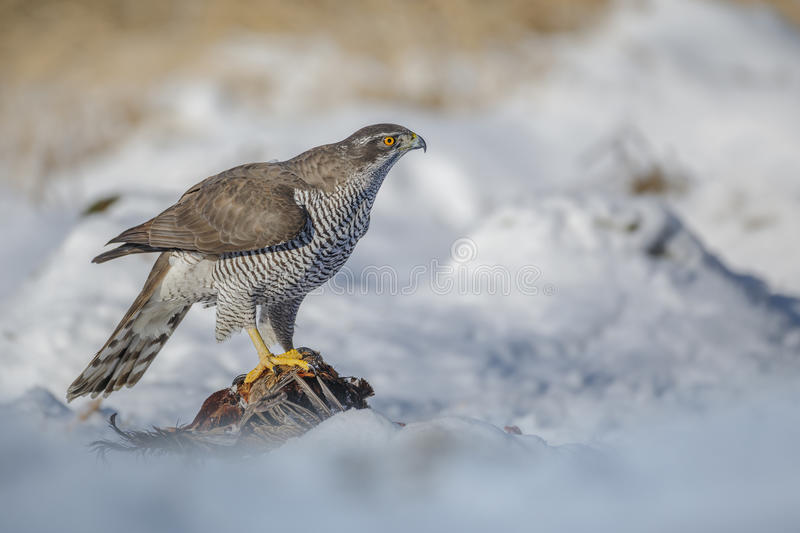 Northern Goshawk with pheasant. A Northern Goshawk stands over his recent kill stock photos