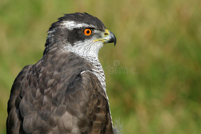 Northern goshawk royalty free stock photo