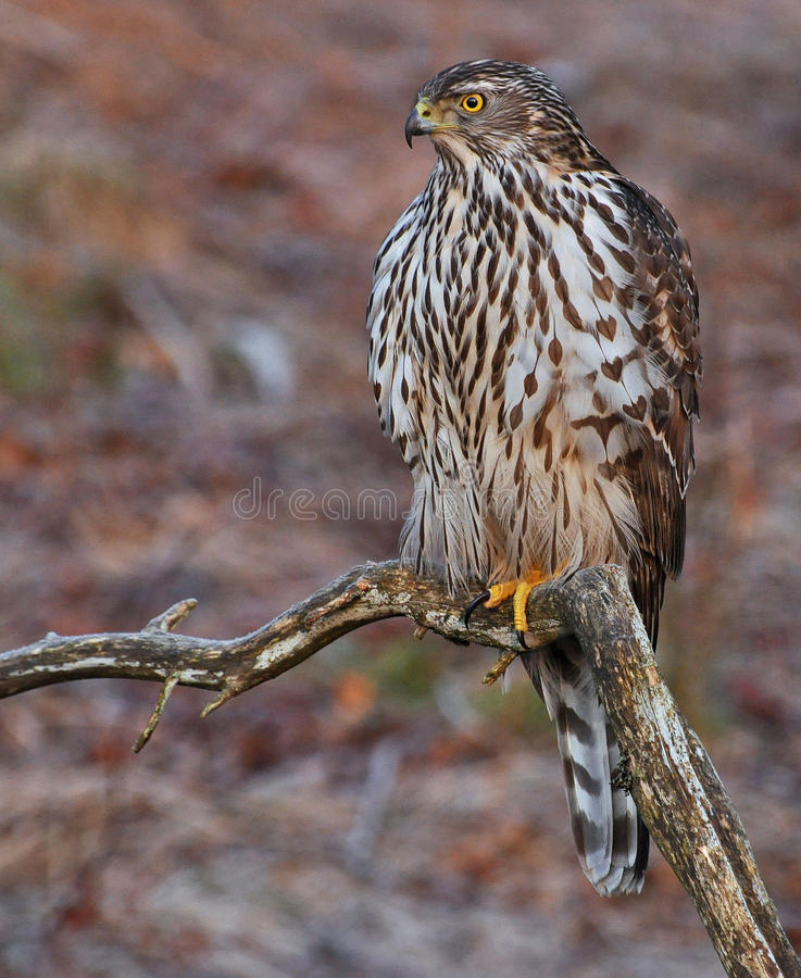 Northern Goshawk sitting on old branch royalty free stock photo
