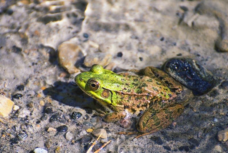 Northern green frog - Lithobates clamitans royalty free stock photos