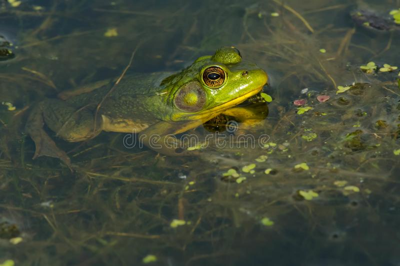 Northern Green Frog - Lithobates clamitans royalty free stock image