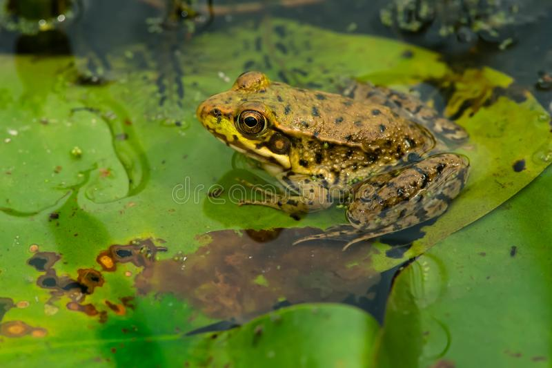 Northern Green Frog - Lithobates clamitans stock photography
