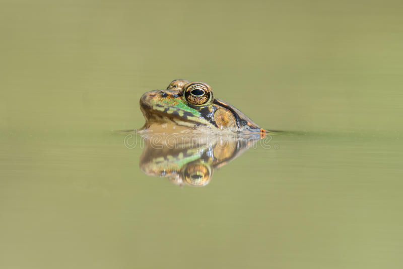 Northern Green Frog In Pond stock images