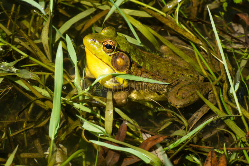 Northern Green Frog - Lithobates clamitans stock images