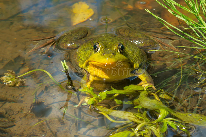 Northern Green Frog - Lithobates clamitans stock image
