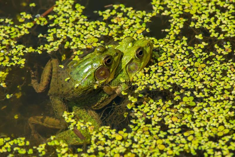 Northern Green Frog - Lithobates clamitans stock photos
