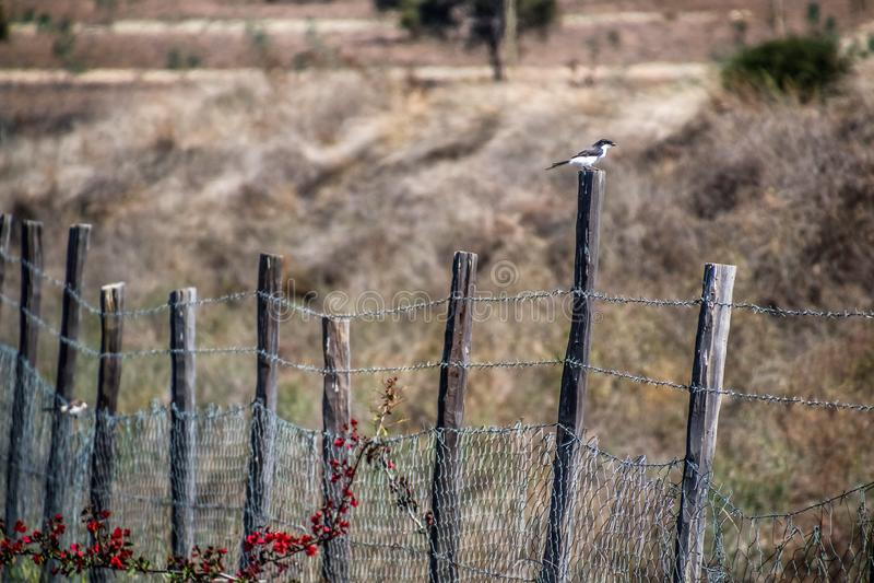 Northern grey-headed sparrow sitting on a fence stock photos