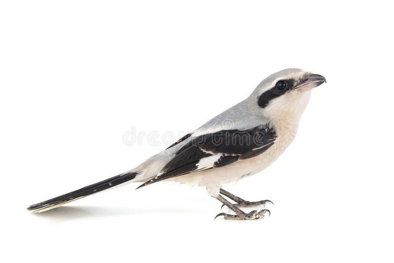 Northern Grey Shrike isolado em fundo branco, Lanius excubitor fotos de stock royalty free