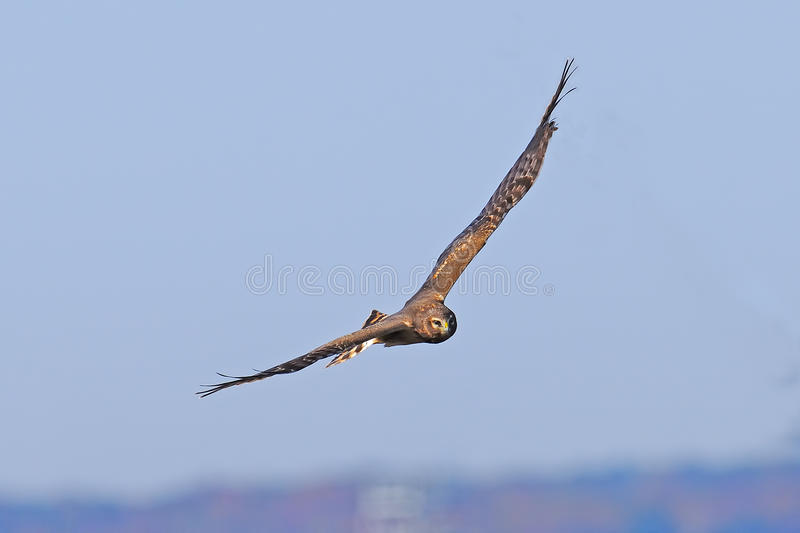 Download Northern Harrier Royalty Free Stock Image - Image: 21892466