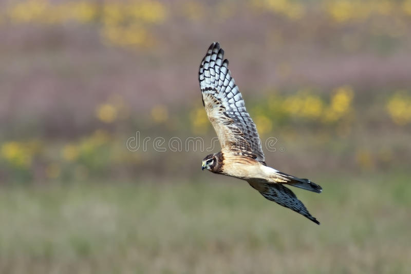 Download Northern Harrier Royalty Free Stock Images - Image: 22460839