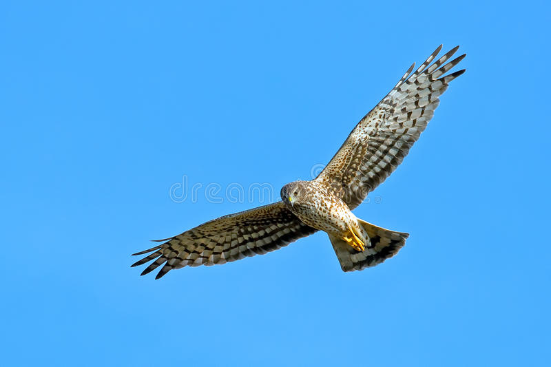 Northern Harrier Royalty Free Stock Photography