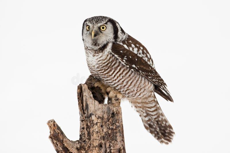 Download Northern Hawk Owl stock image. Image of yellow, alert - 18415985