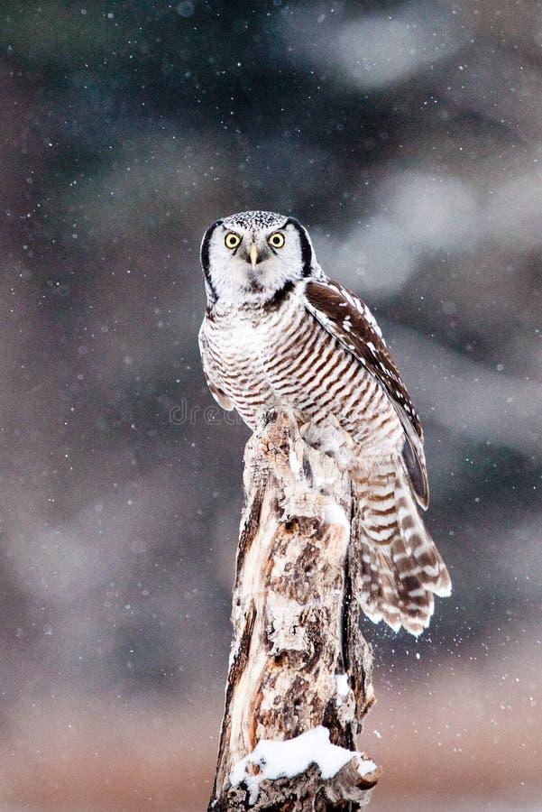 Download Northern Hawk Owl stock image. Image of winter, stump - 18444733