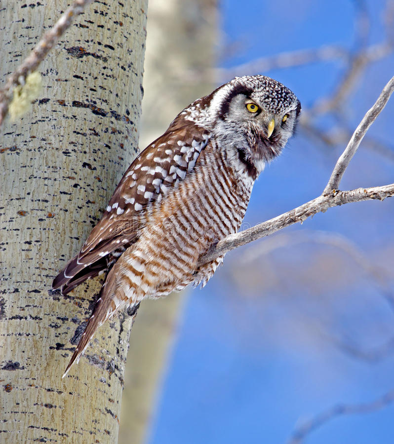 Northern Hawk-Owl Calling stock image
