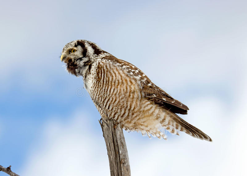 Download Northern Hawk-Owl Calling stock photo. Image of nature - 26970116