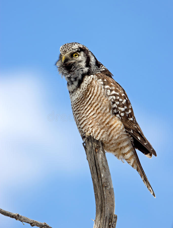 Northern Hawk-Owl Calling stock images