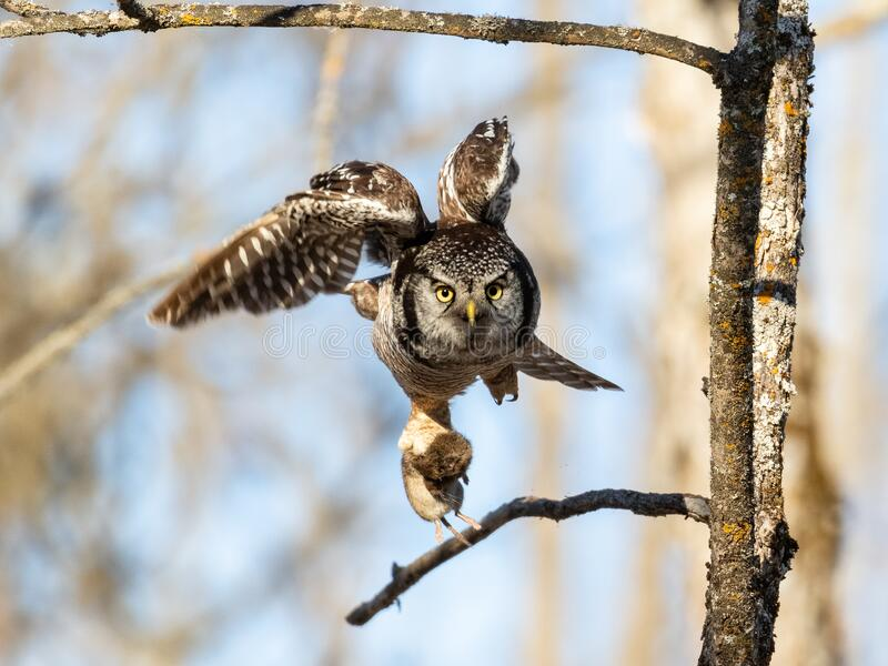 Northern Hawk Owl stock image