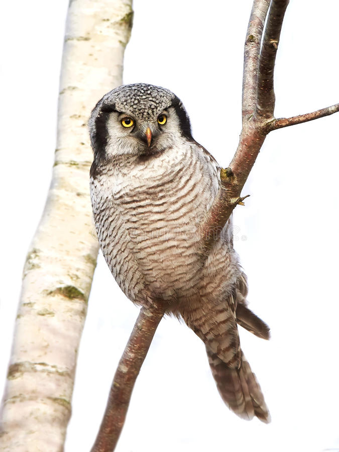 Free Northern Hawk Owl (Surnia Ulula) Royalty Free Stock Images - 66466649