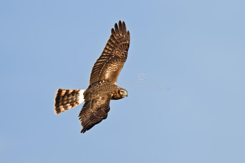 Northern or hen harrier stock images