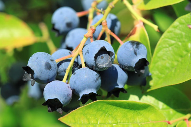 Northern highbush blueberry stock images