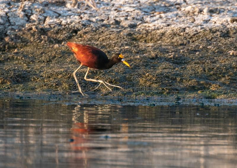 A Northern Jacana Foraging for Food on a Shoreline royalty free stock photography