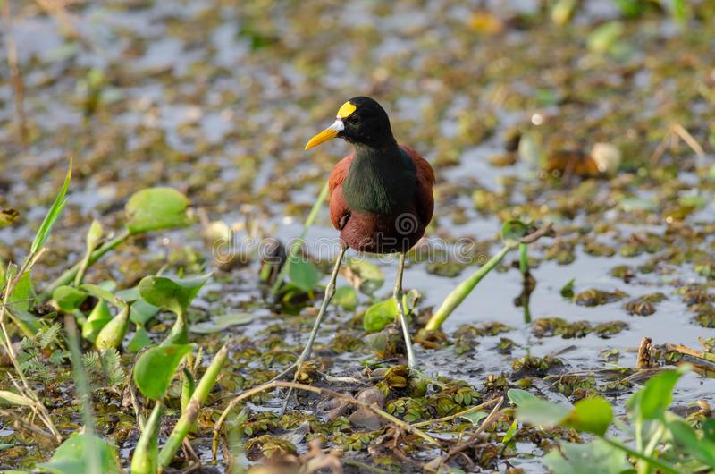 Northern Jacana in Palo Verde National Park stock image